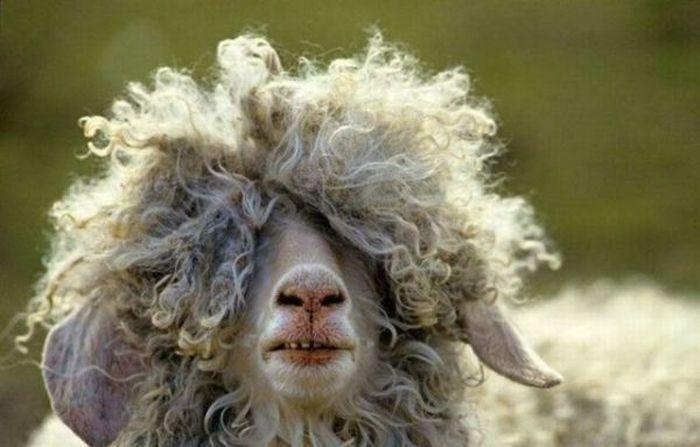 Mouton drôle très vieux avec une coupe incroyable